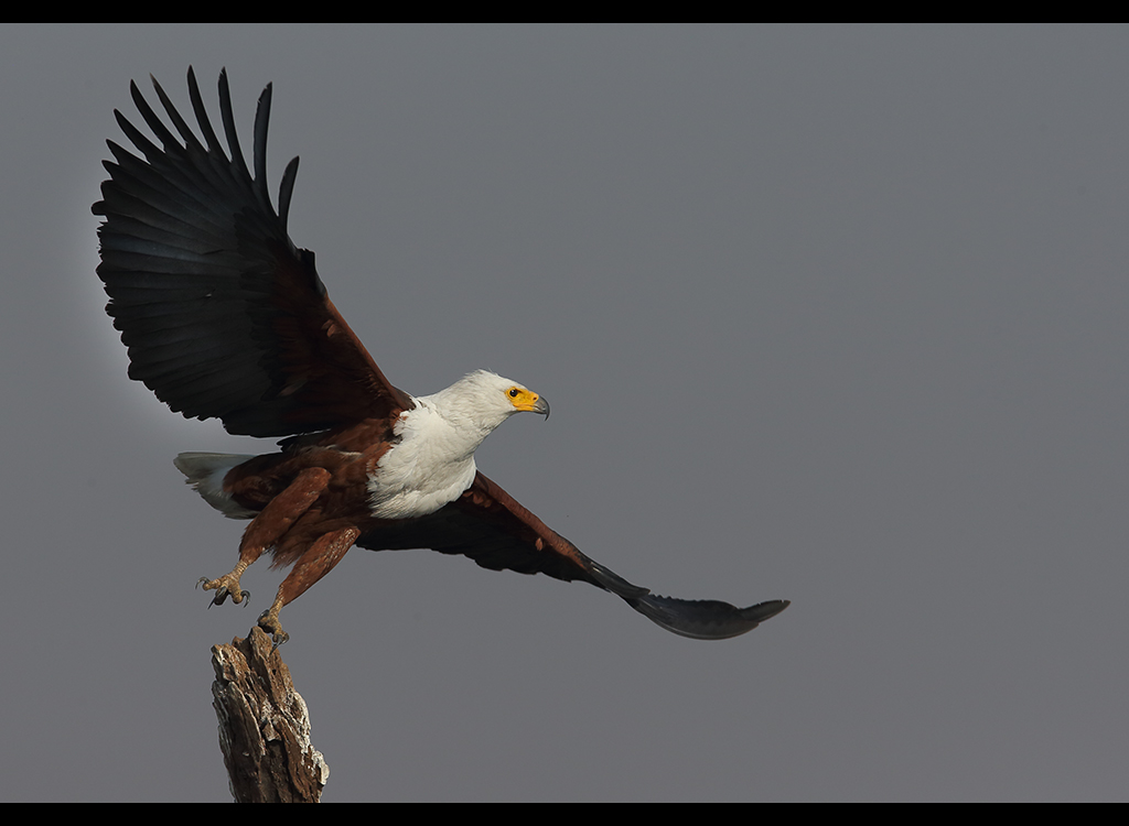 African Fish Eagle no2