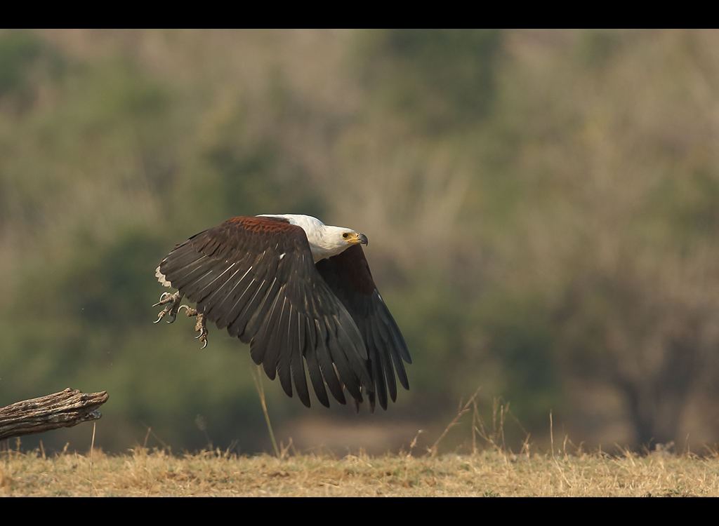 African Fish Eagle no3