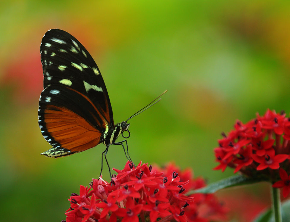 Banded Orange Butterfly.