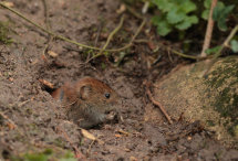 Bank vole no2.