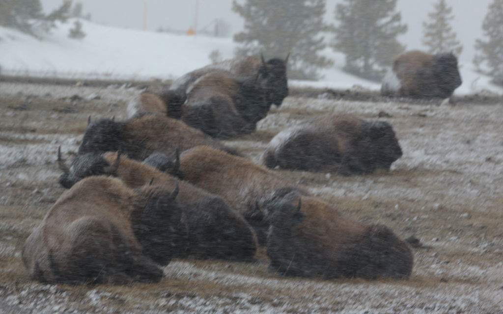 Bison in blizzard