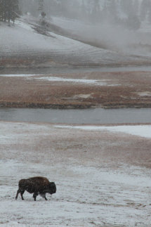 Bison in harsh conditions.