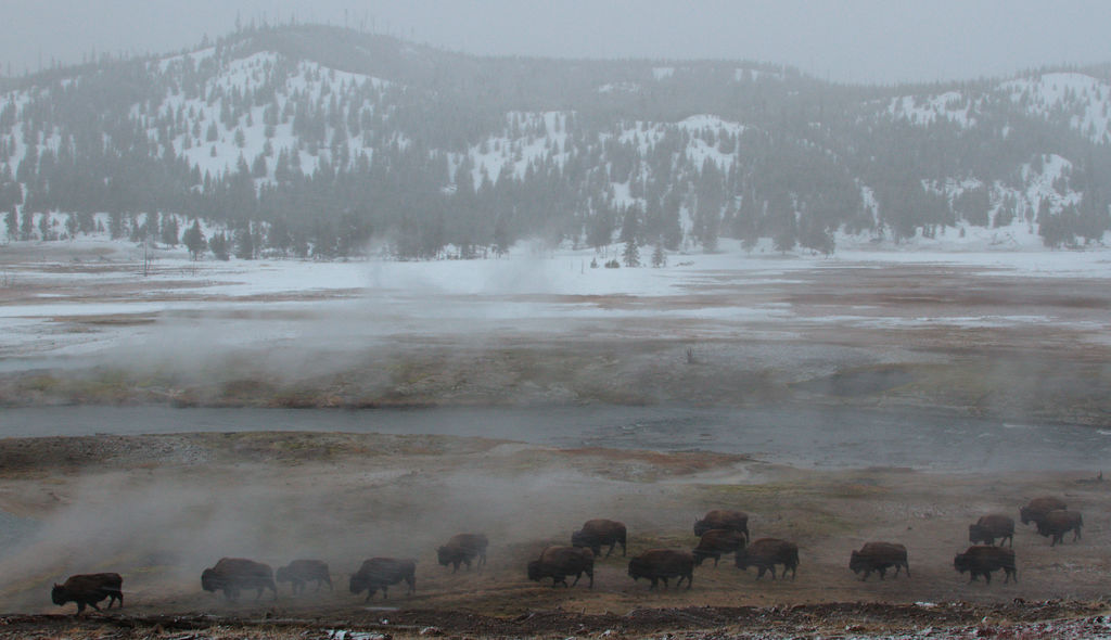 Bison in sulphur steam
