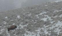 Bison on hillside
