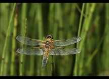 Broad Bodied Chaser (F) No 2