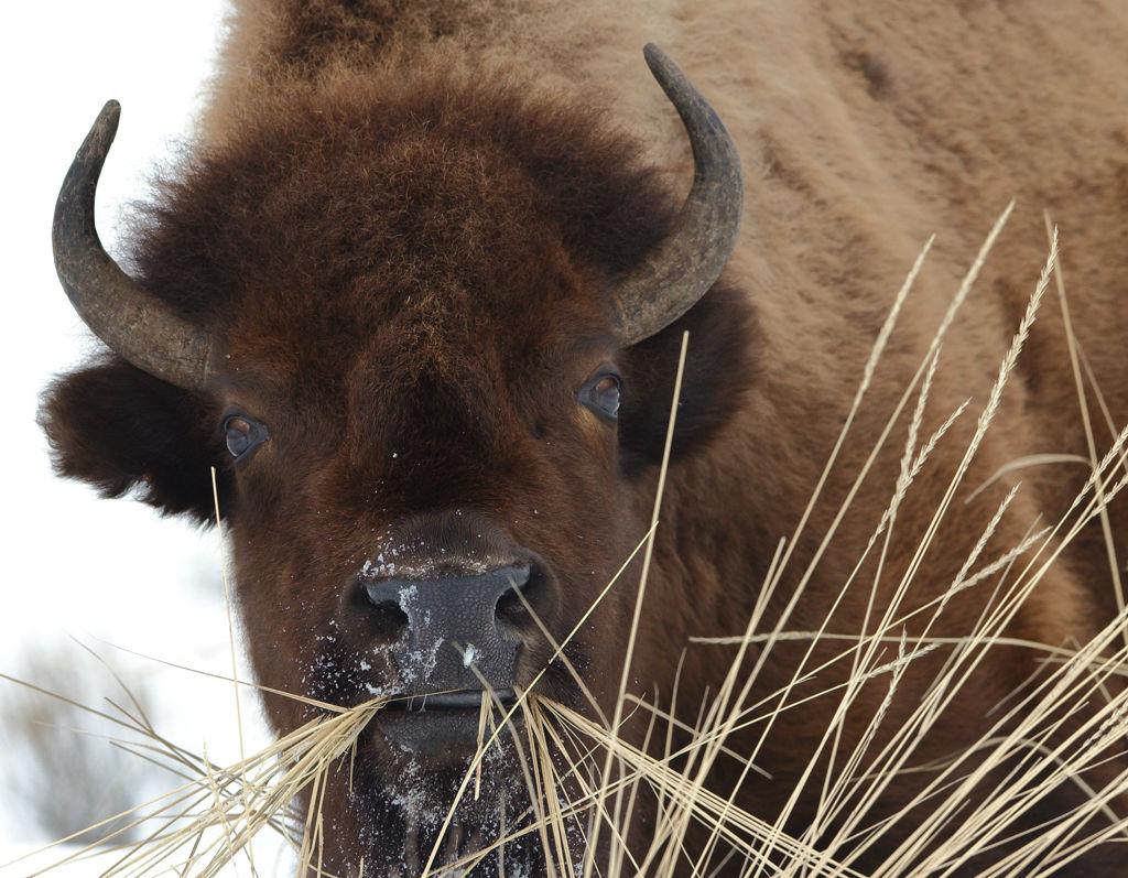 Browsing bison