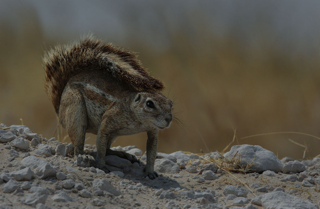 Cape Ground Squirrel.
