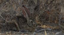 Cape Hare.