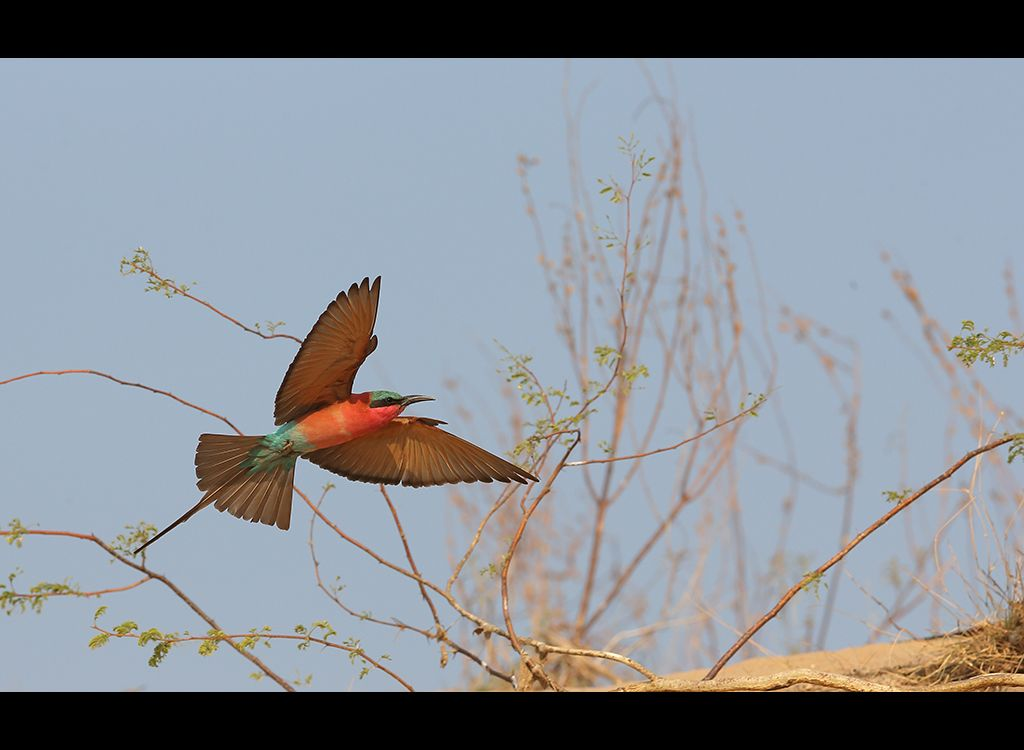 Carmine Bee Eaters no 11
