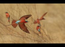 Carmine Bee Eaters no 12