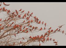 Carmine Bee Eaters no 1