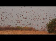 Carmine Bee Eaters no 2
