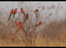 Carmine Bee Eaters no 3