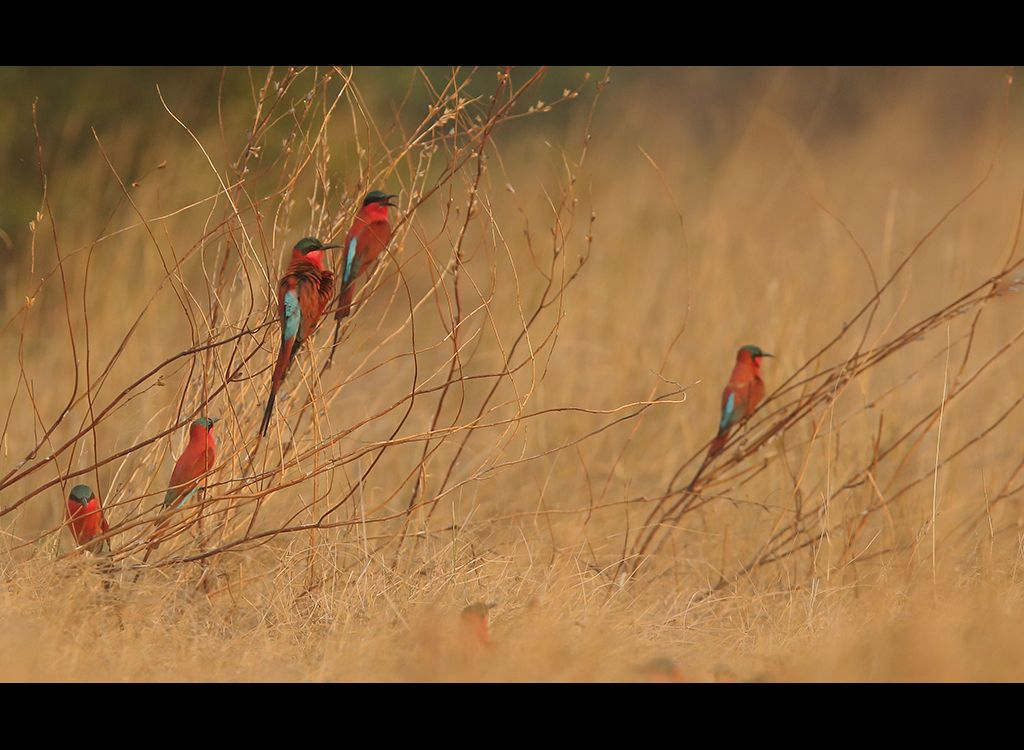 Carmine Bee Eaters no 4