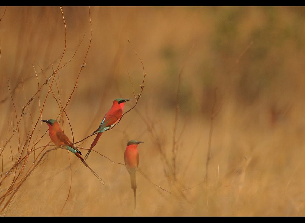 Carmine Bee Eaters no 6