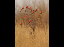 Carmine Bee Eaters no 7