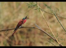 Carmine Bee Eaters no 8