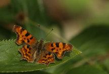 Comma Butterfly (open)