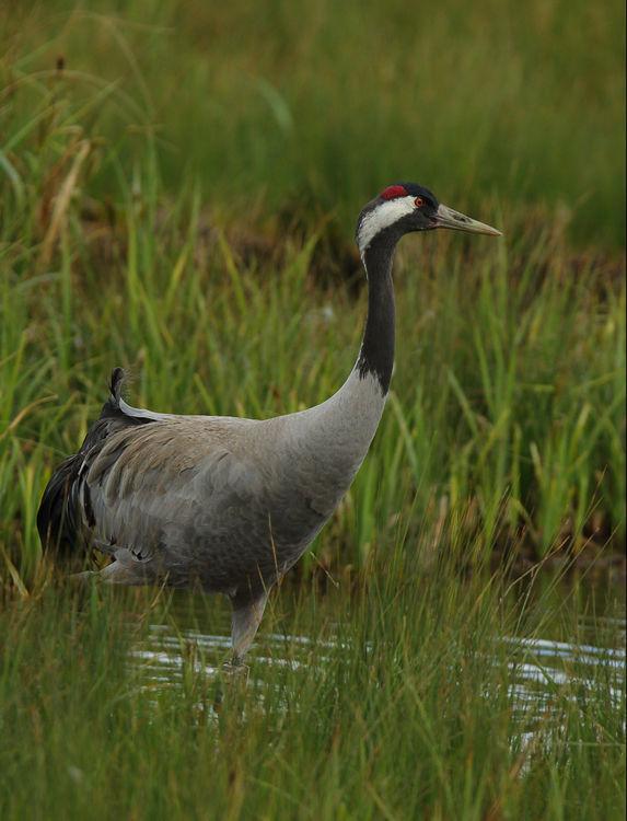Common Crane 1.