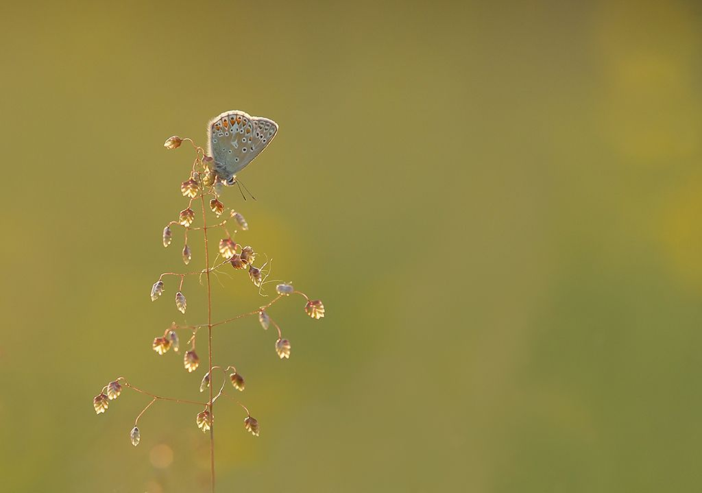 Common blue (5)