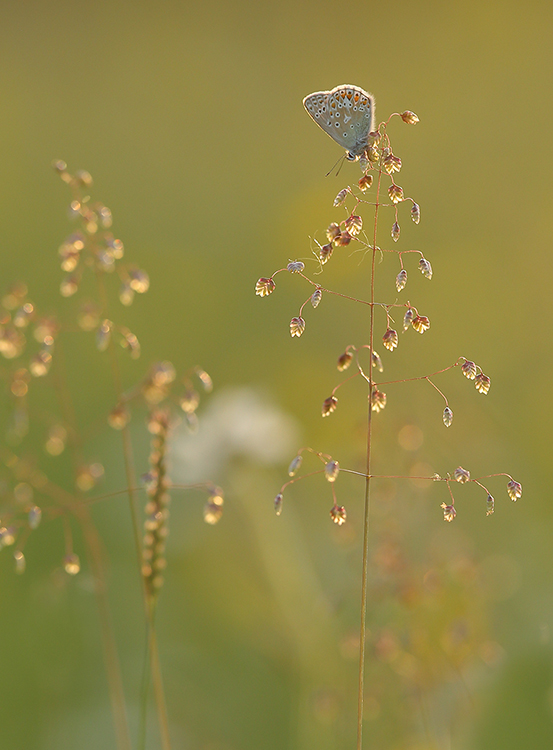 Common blue (6)