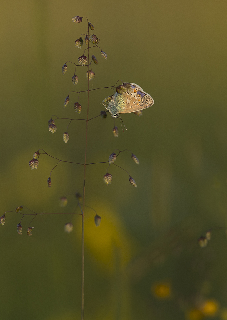 Common blue at sunset (2)