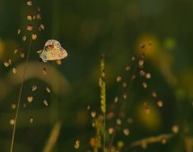 Common blue at sunset