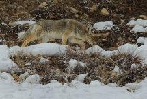 Coyote no 2.