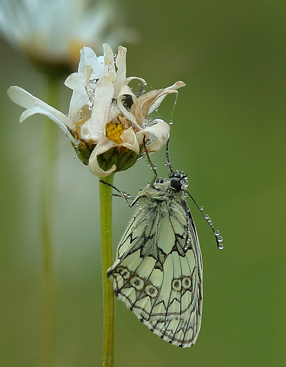 Dew on marbled white
