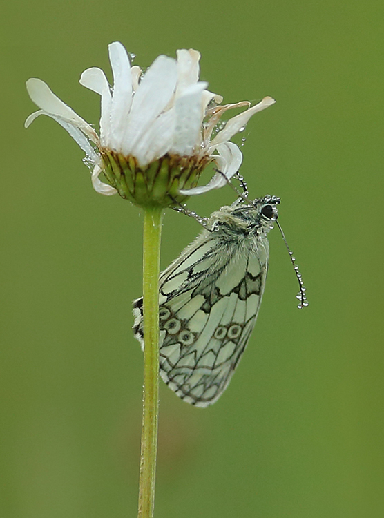 Dew on marbled white (2)