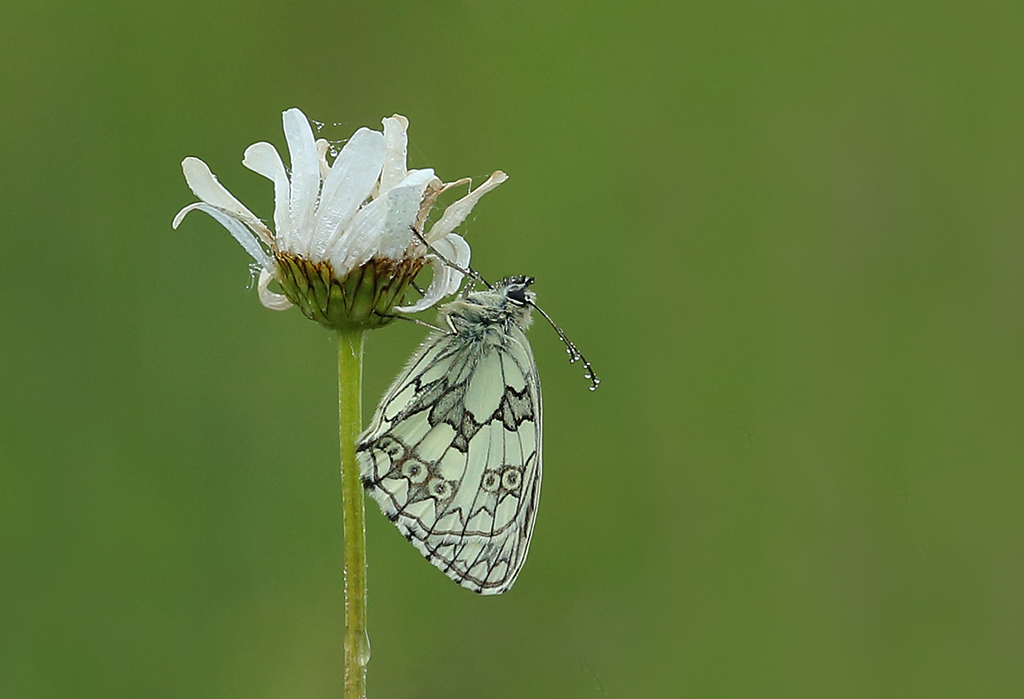 Dew on marbled white (3)