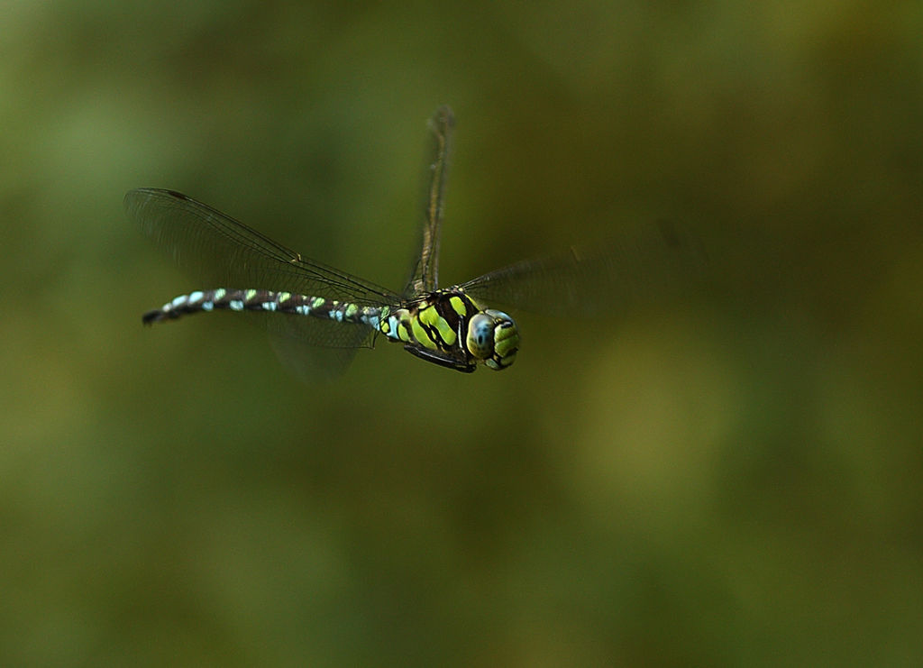 Dragon fly in flight 2.