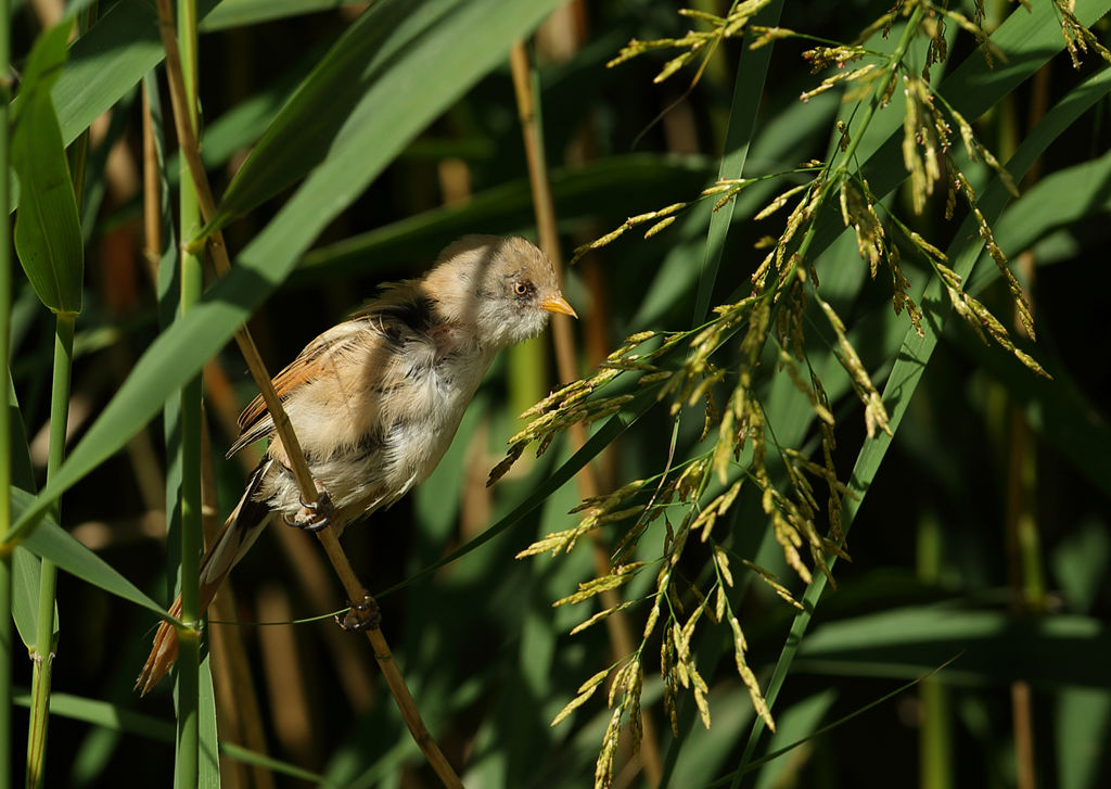 Female Bearded Tit.