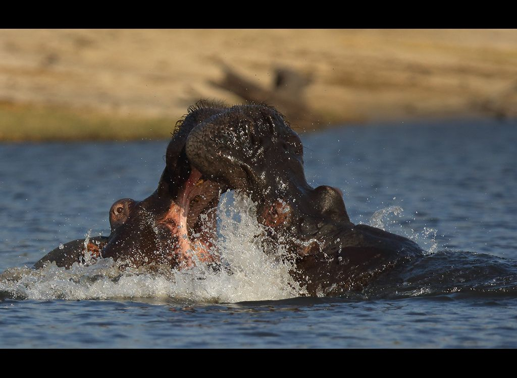 Fighting Hippos no1