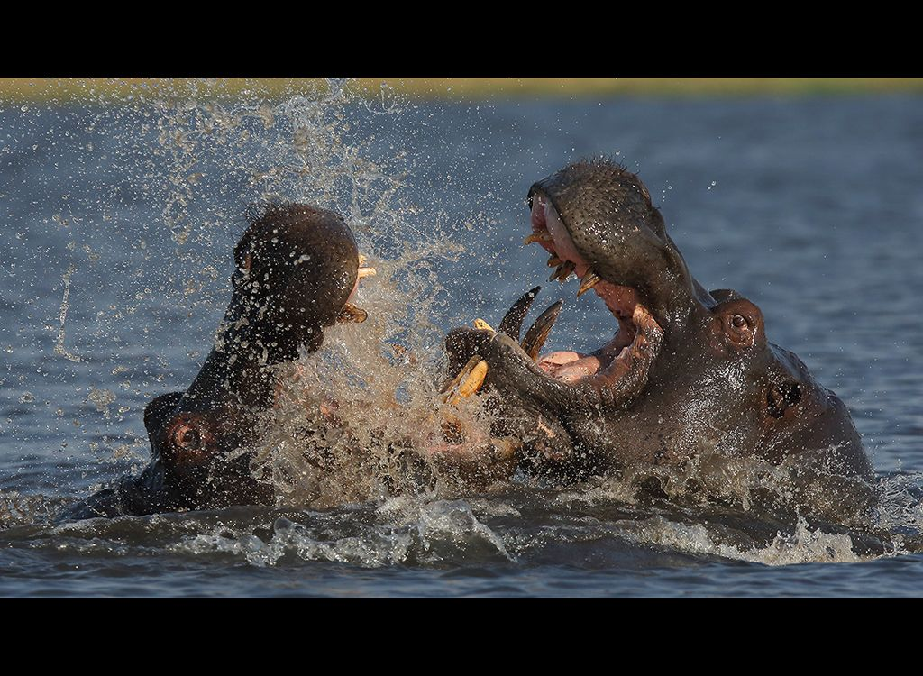 Fighting Hippos no10