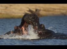 Fighting Hippos no1