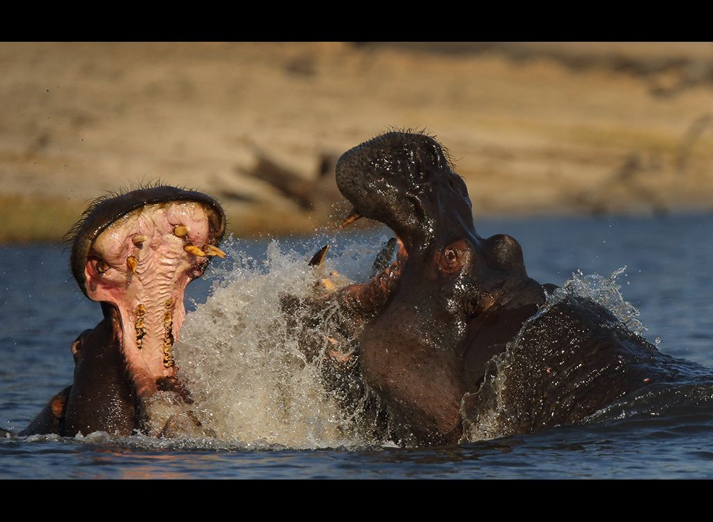 Fighting Hippos no2