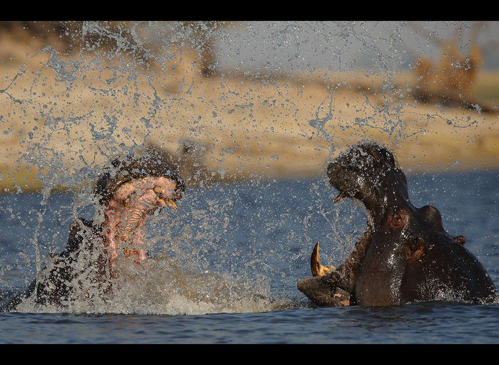 Fighting Hippos no4