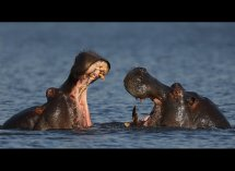 Fighting Hippos no5