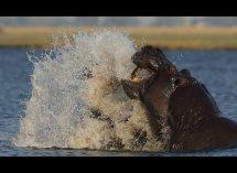 Fighting Hippos no6