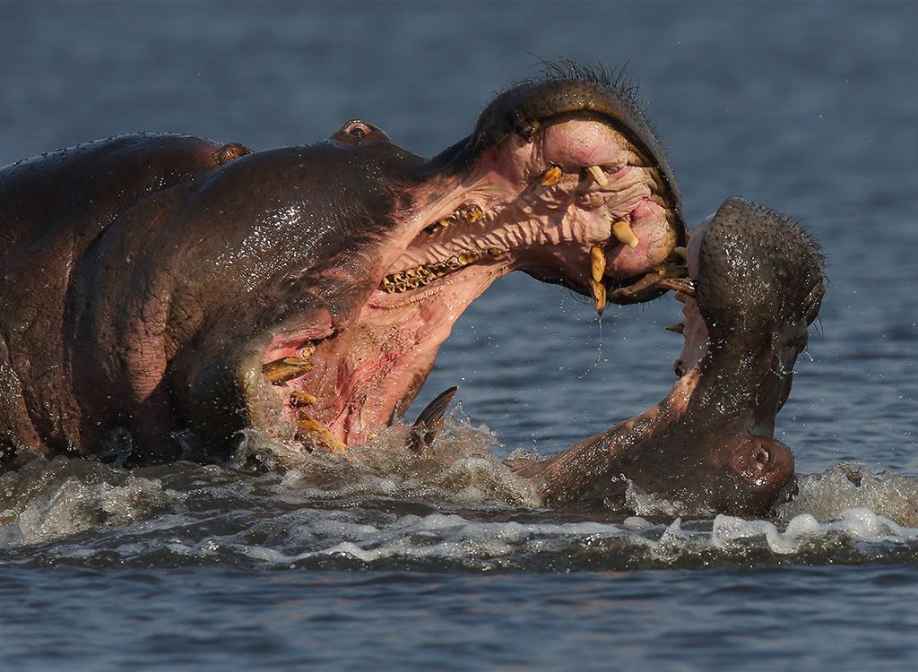 Fighting Hippos no8