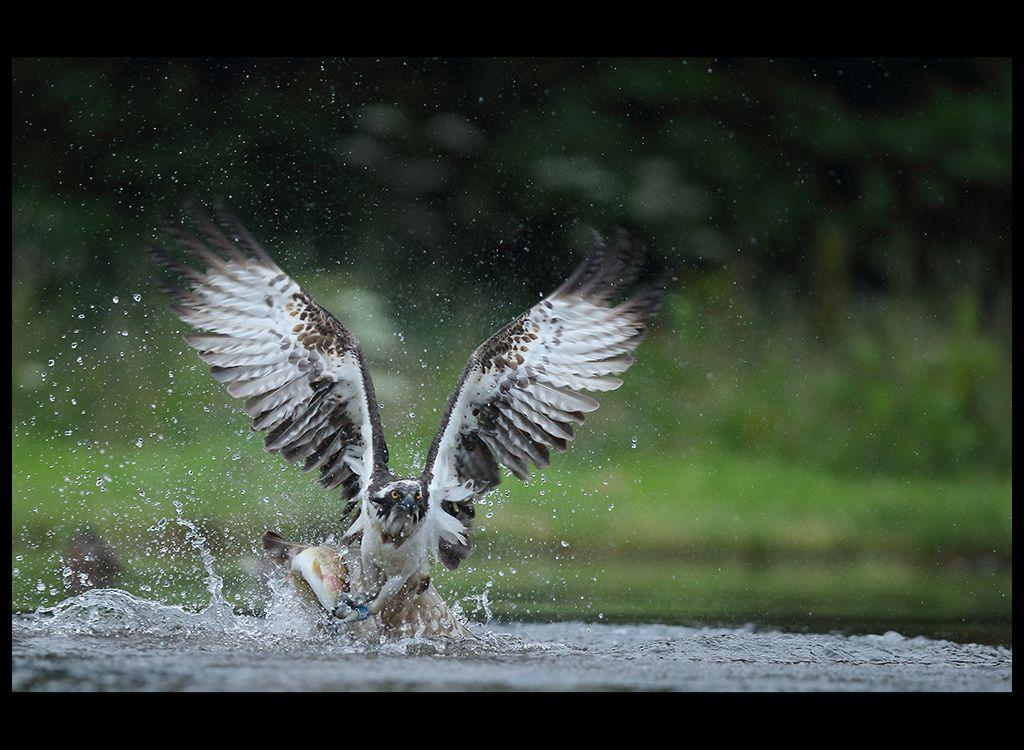 Fishing Osprey no 13