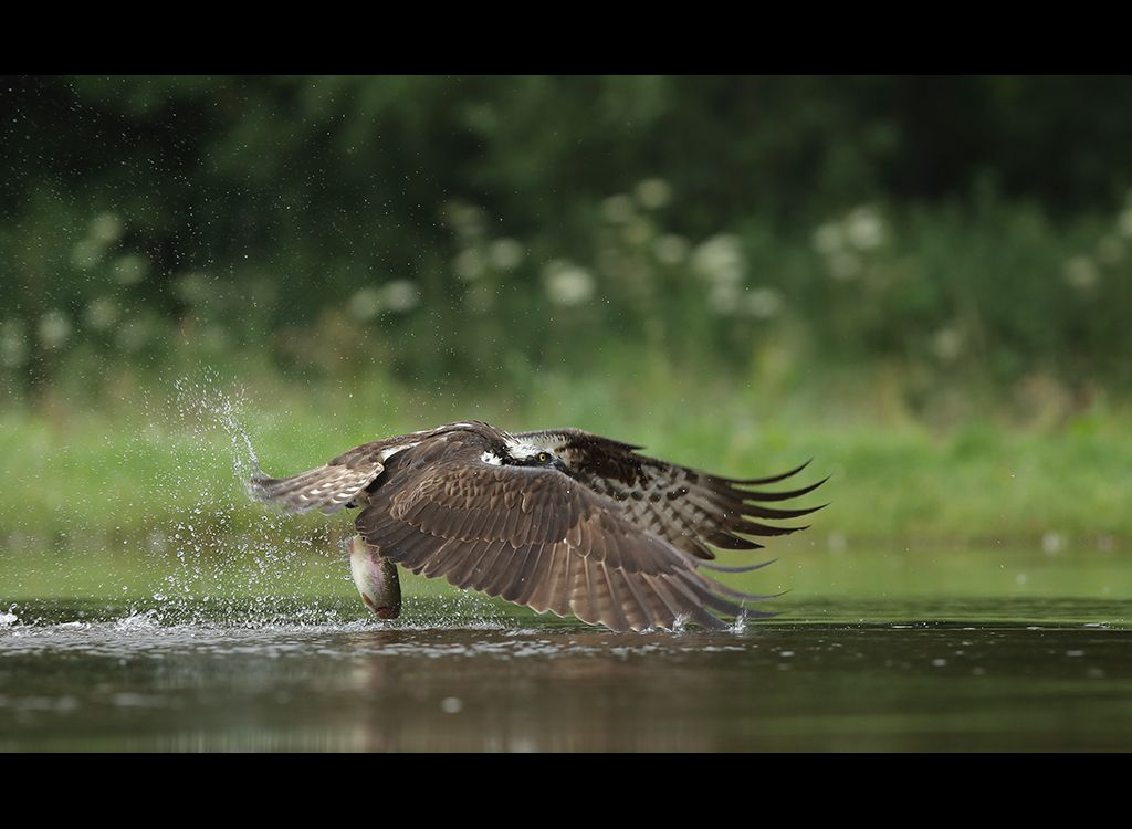 Fishing Osprey no 17