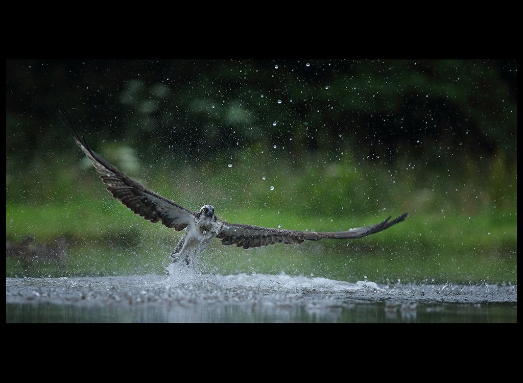 Fishing Osprey no 4
