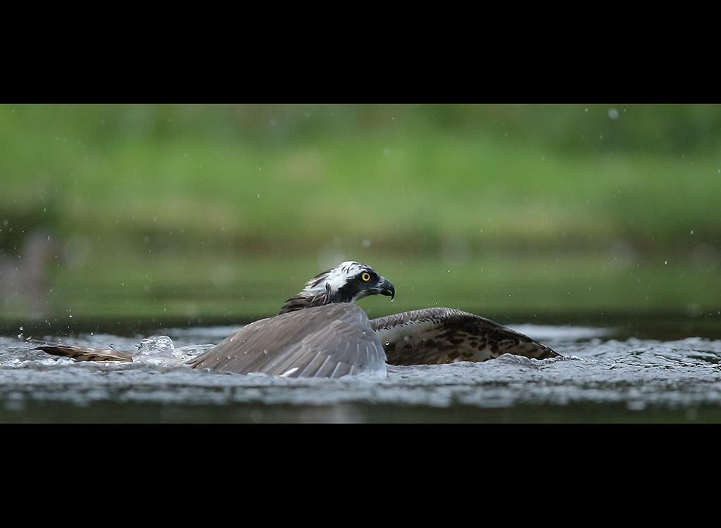 Fishing Osprey no 5