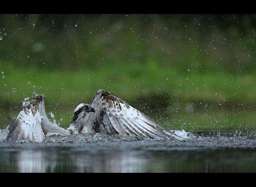 Fishing Osprey no 7