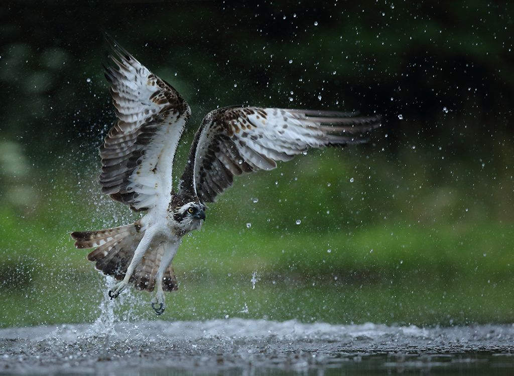 Fishing Osprey no 8
