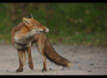 Fox no1