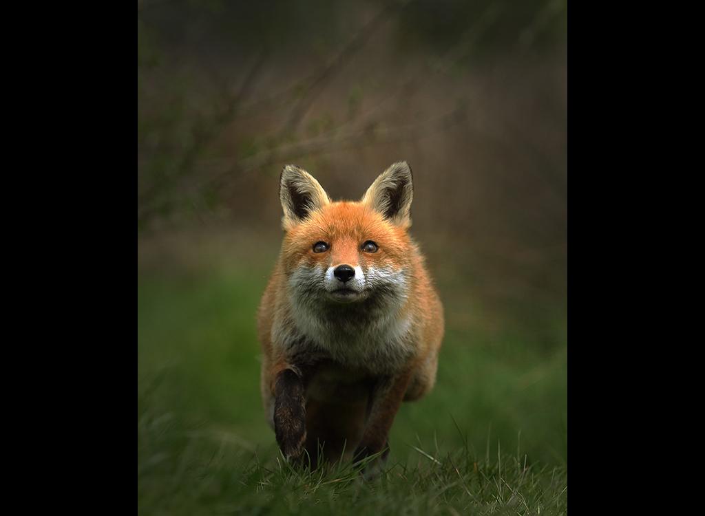 Fox no2