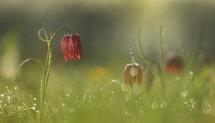 Fritillary meadow.